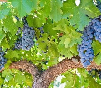 カベルネ・ソーヴィニヨンとは――味の特徴、おすすめワイン、主な産地をチェック