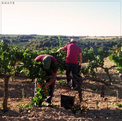 enate-grapes-3