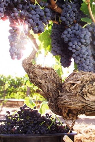 riverland-grapes