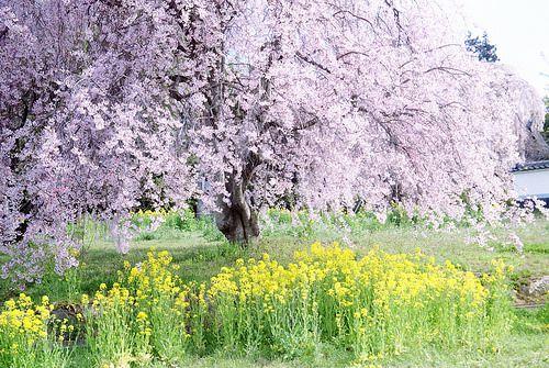 笛吹と塩山 桜と桃