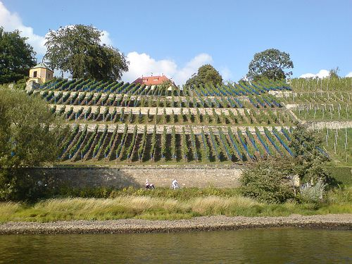 Vineyard at the Elbe river in Dresden