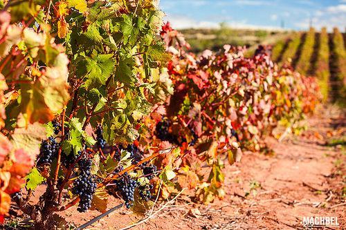 Uvas negras colgando del viñedo