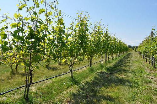 Long Island grapevines