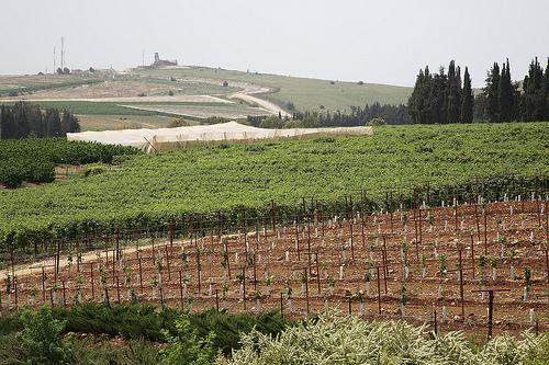 Wine Vineyard 277