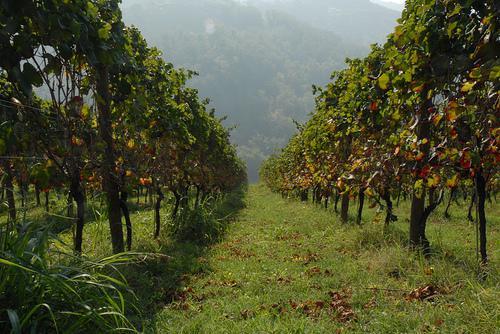 Vigneto / Vineyard