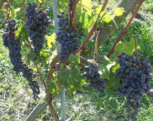 TorreBarolo - Grapes