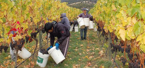 Stefano Lubiana Wines Tasmania harvest panorama