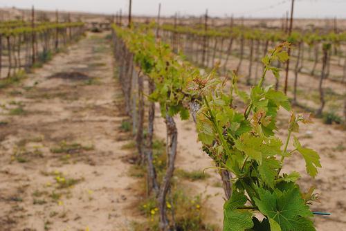 Rota Winery, Negev Israel