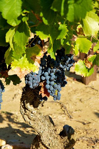 Red grenache grapes, Chateauneuf-du-Pape