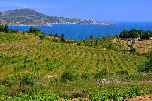 Vinyes verdes vora el Mar, Banyuls, Catalunya, Fran?a.