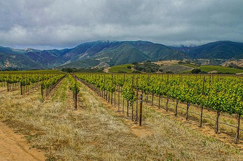 Future Wine Grapes--DSC1521--Salinas Valley, CA-1