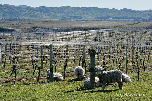 Yealands Winery & Vineyard, Marlborough