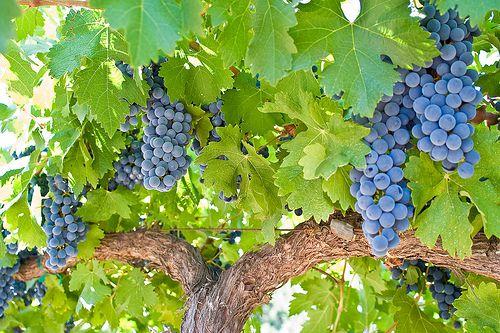 Cabernet Sauvignon Grapes