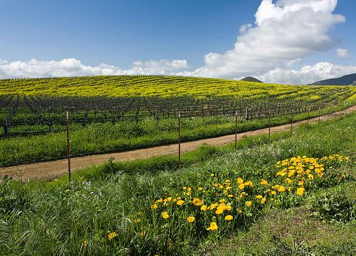 The Vineyards Bloom - with wildflowers, Edna Valley, CA