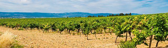 Carcassonne Vineyard