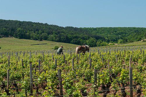 A vineyard worker manually tills the soil near Vosne-Roman?e in Burgundy