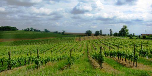 AOC Armagnac vignes du Gers.JPG