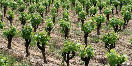 Jeunes vignes ? Saint-Geni?s-de-Comolas.jpg