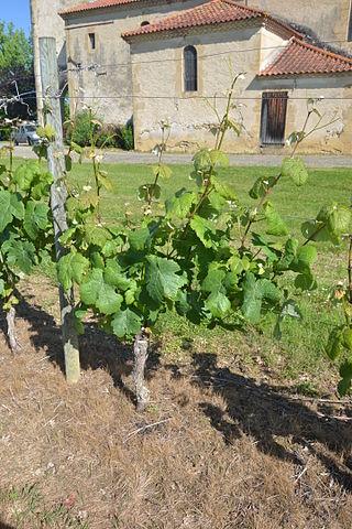 Maumusson-Laguian Gros plant sur une vigne de l'AOC Béarn.JPG