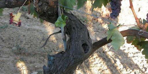 Tempranillo vine with grape clusters.jpg