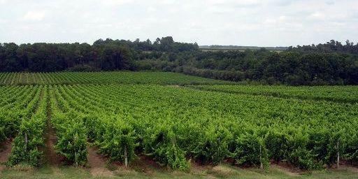 Vignoble d'Armagnac.JPG